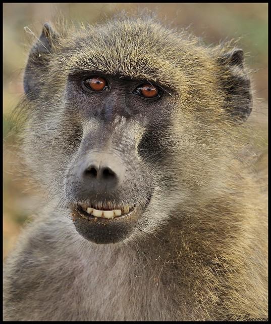 Chacma baboon - photo#7