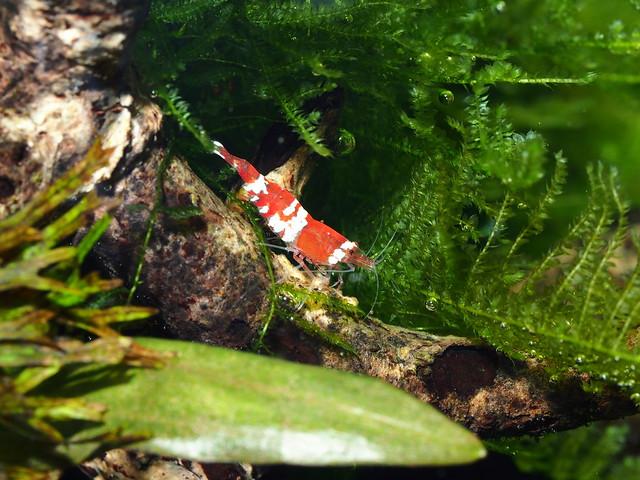P1121700 水晶蝦