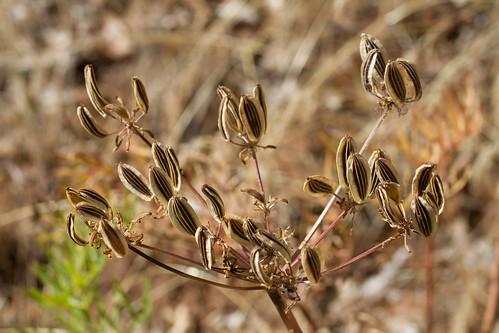 flora organisms apiaceae apiales angiosperms eudicots lomatium coreeudicots asterids penagroup lomatiumsuksdorfiiswatsonjmcoultrose
