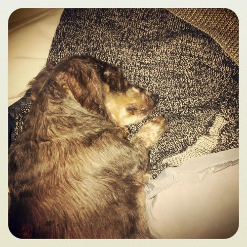 miniature wire haired dachshund