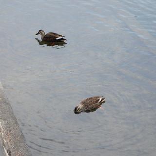 駿府城の鴨2匹。