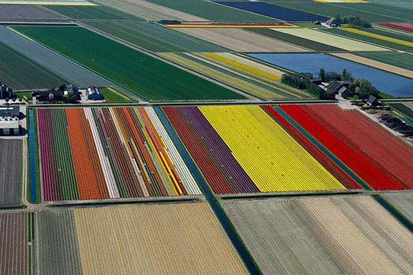 Granja de Tulipanes en Holanda (2)