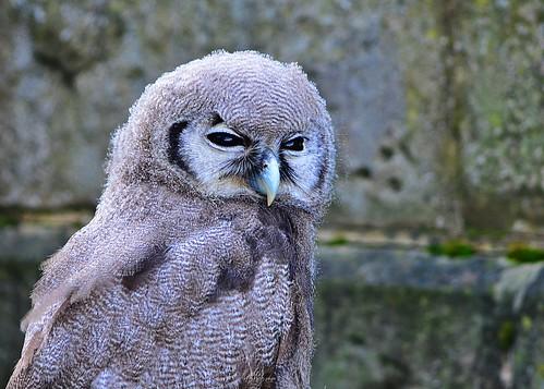 Owl 1 by birbee
