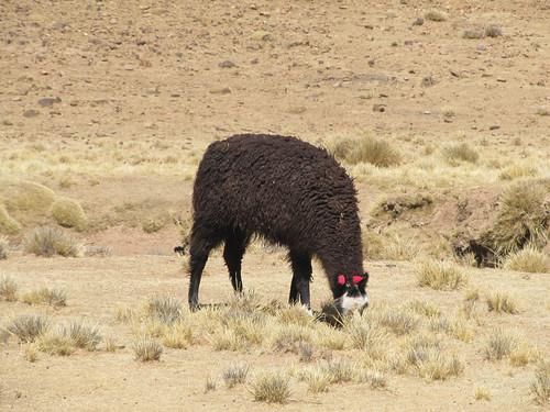 Le Sud Lipez: un lama brun foncé