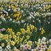 Pleasant Valley Daffodil Farm, Geraldine
