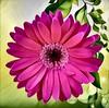 Pink Gerbera Daisy in Digital Splendor