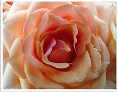 Rosentraum - dream rose