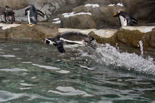 Humboldt penguin by begineerphotos