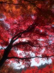[フリー画像素材] 自然風景, 樹木, 紅葉・黄葉, カエデ・モミジ, 赤色・レッド ID:201211241200
