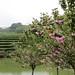 Cerisier en fleurs dans les jardins du Pu Bu Long Zhu, Zhejiang