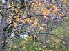arancio delle foglie