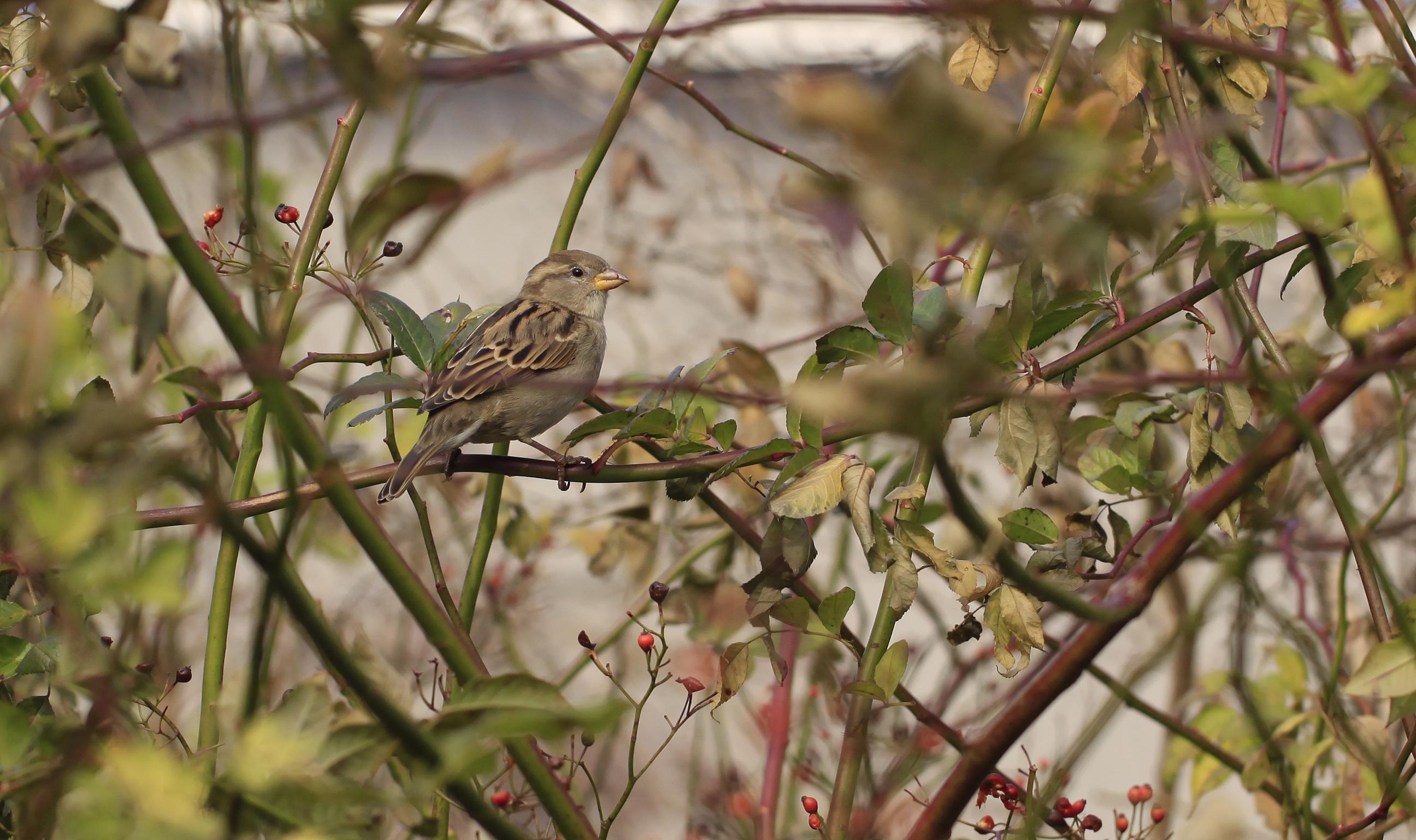sparrow cutie2