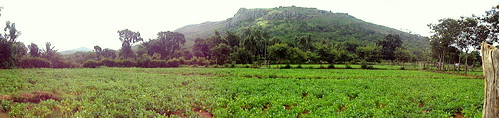 Panoramic view of the beans fields at Bejjaletti