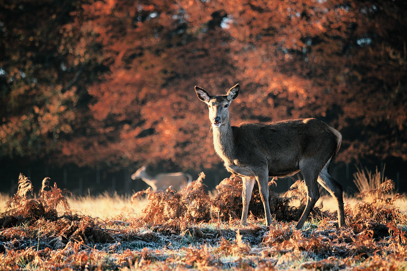 初冬、清晨、鹿。