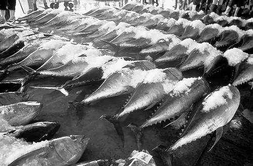魚市的地上擺滿了黃鰭鮪。攝影:金磊。