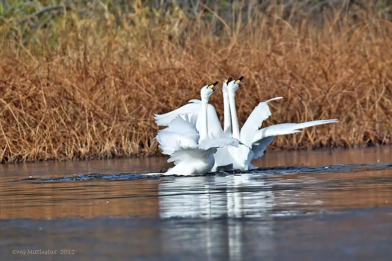 кaртинки лебедь нa воде
