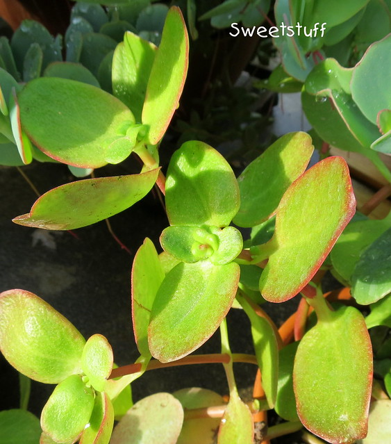 Unknown succulent cutting from Debra Lee Baldwin
