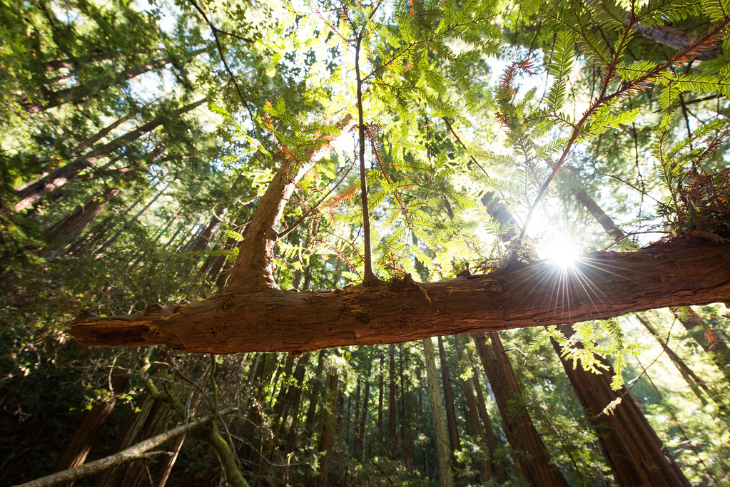 Sunlight through the canopy, Muir Woods National Monument
