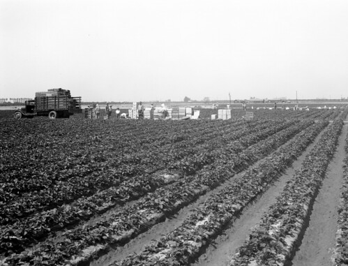 Strawberry fields, Orange County, circa 1930