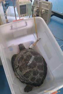 在救傷盆中的海龜。(圖片來源:程一駿研究團隊)