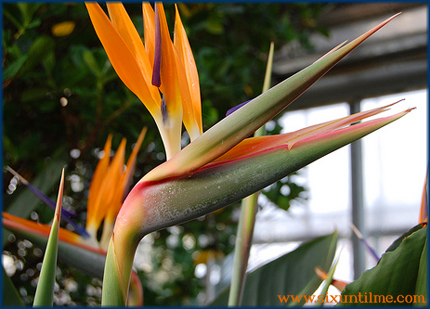 Bird of paradise ... ha ha?