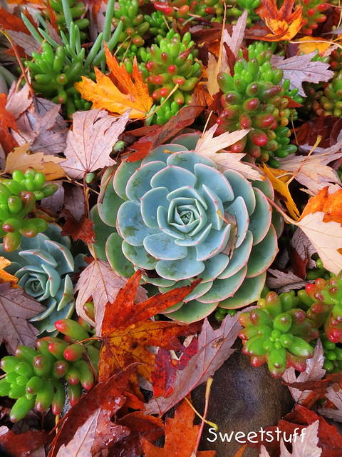 Echeveria imbricata and Sedum Rubrotinctum nestled in the leaves!