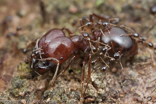 marauder ant, Pheidologeton sp. IMG_3568 copy