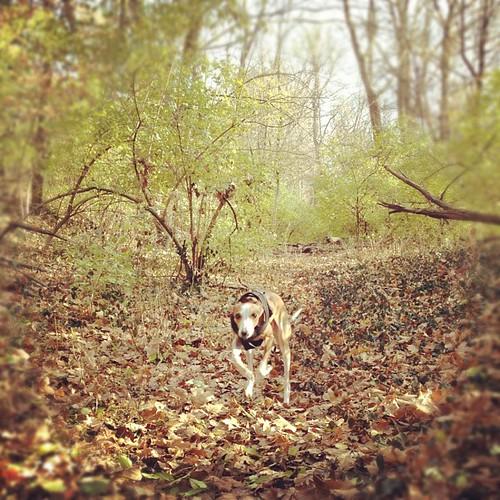 Galloping through the woods. #italiangreyhound