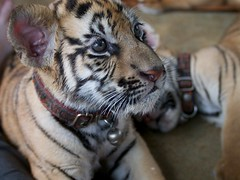 Tiger cubs at Tiger temple