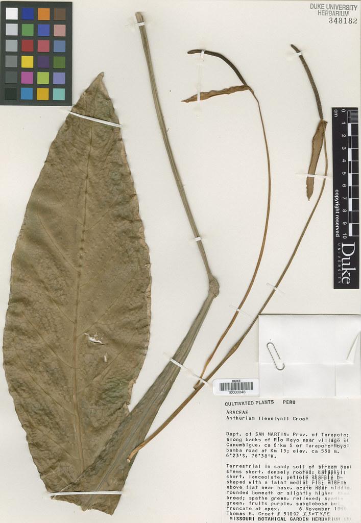 Araceae_Anthrium llewelynii