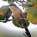 Mangrove Cuckoo (Tom Mabbett 2016 tour)