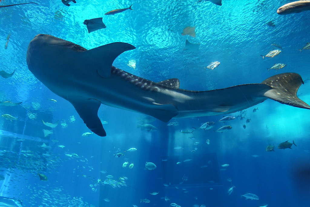 美ら海水族館DSC04627