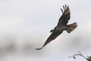 Pandion haliaetus-El águila pescadora