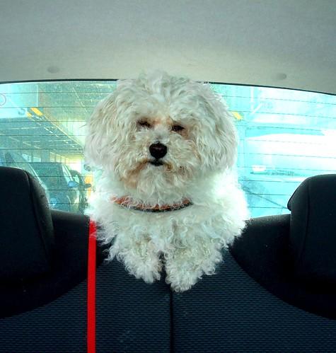 Bolognese dog in Aygo Car