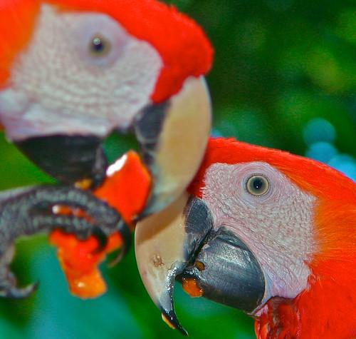 Scarlett Macaw Pair
