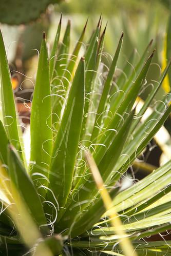 agave 4