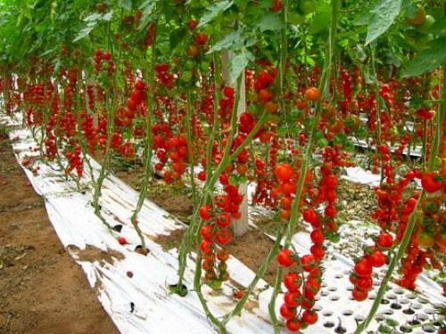 Pachino siracusa non solo pomodorini - Coltivare uva da tavola in vaso ...