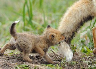 baby fox cant chase own tail