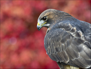 Red-tailed hawk portrait 3