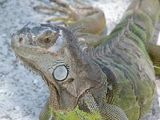 Iguana en la Carretera de los Cayos