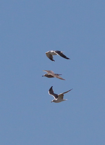 lbbg-ad-subad-mysterygull-smithpoint-11-08-12-tl-01-cropsmaller
