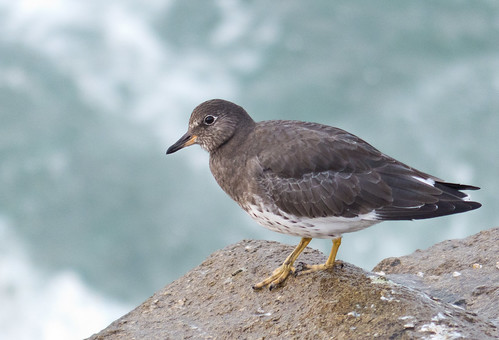 Surfbird at the Westport Jetty