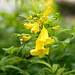 Yellow Trumpet Flower - Photo (c) Chiew Pang, some rights reserved (CC BY-NC-ND)