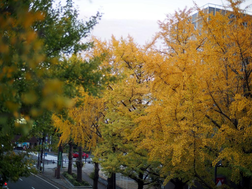 Yamashita Park Street | Yellow Leaf