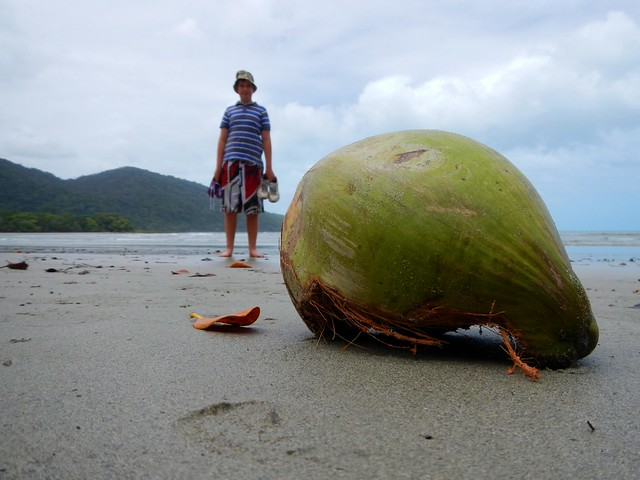 Coconut, Cape Tribulation