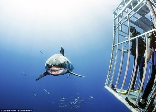 障礙:當大白鯊經過時,潛水員待在水底的籠子裡。