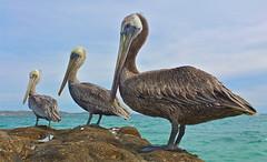 [フリー画像素材] 動物 (その他), 鳥類 (その他), ペリカン, カッショクペリカン ID:201211260400