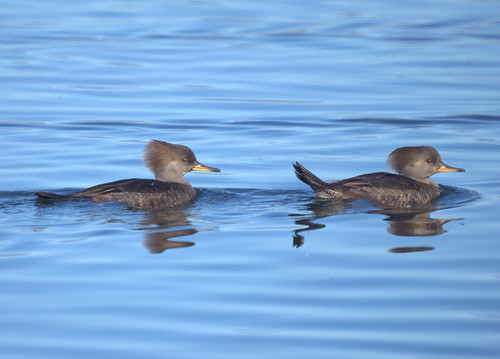 Female Hooded Mergansers