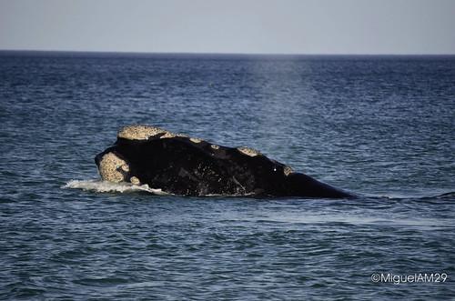 Patagonia: Ballenas en Puerto Madryn