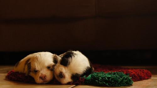 [フリー画像素材] 動物 (哺乳類), 犬・イヌ, 子犬・小犬, 寝顔・寝姿 ID:201212071000